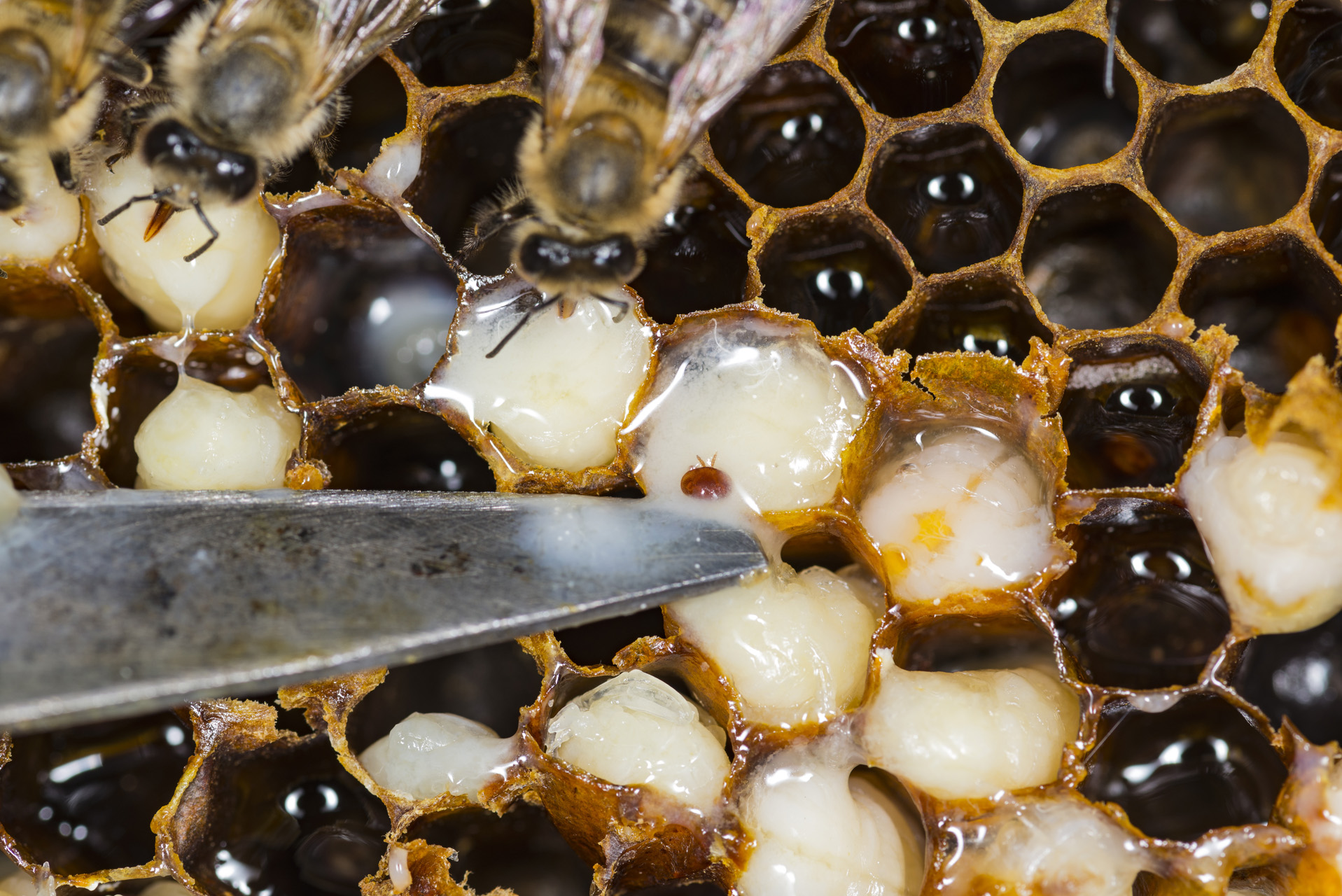 Apps for Beekeepers | Varroa Mites