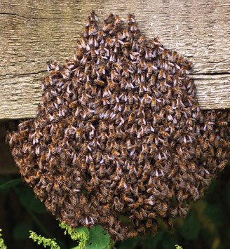 Bee Swarm Removal in New Hanover County