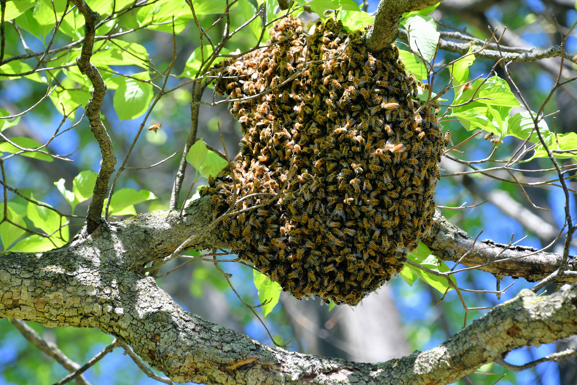 Swarm Removal in New Hanover County